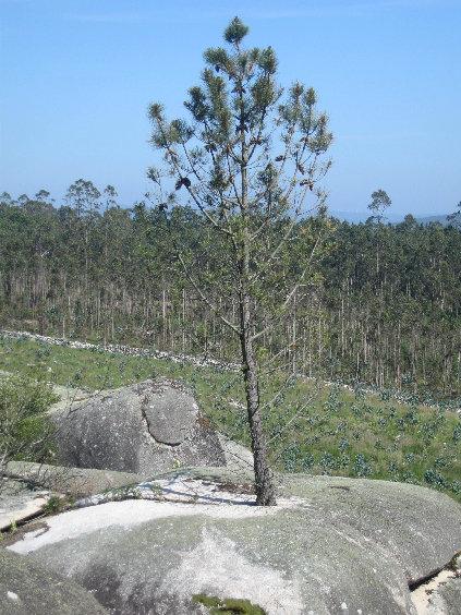 Pino dentro de una piedra